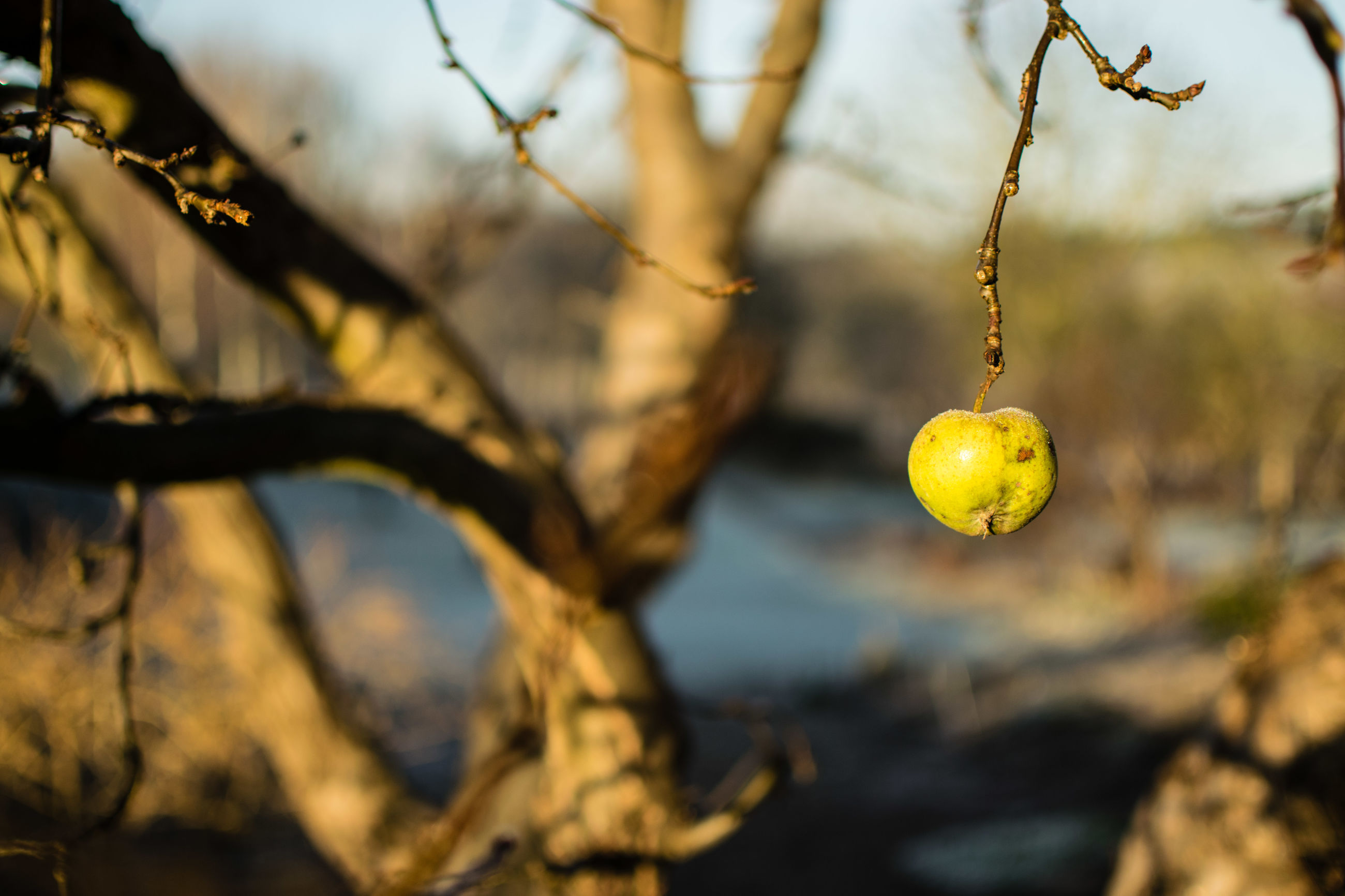 growth, branch, hanging, nature, fruit, tree, outdoors, no people, focus on foreground, close-up, day, beauty in nature, sky