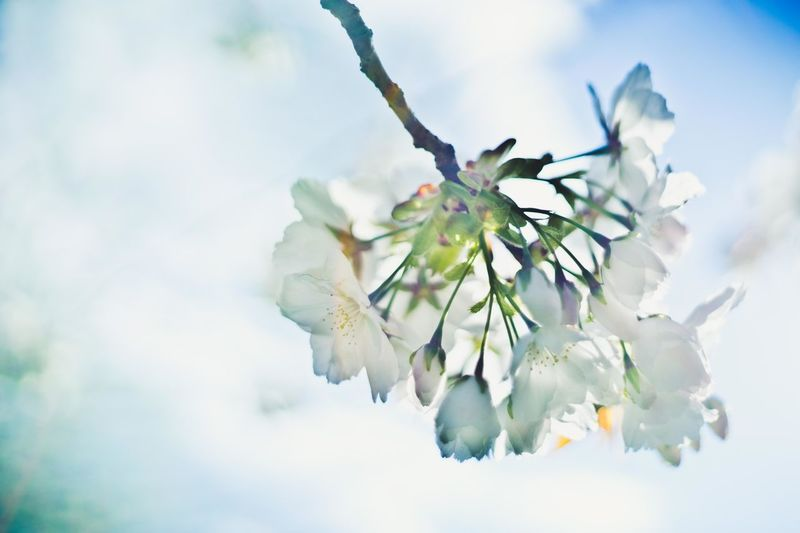 Blooming The Great Outdoors - 2016 EyeEm Awards Cherry Blossoms Cherry Tree Cloud - Sky Flower Flower Head Fragility Freshness Growth In Bloom Nature Outdoors Petal Sky Soft Colors  Soft Focus Spring Colours Spring Flowers White Cherry White Cherry Blossom White Color White Flower White Flowers Whity