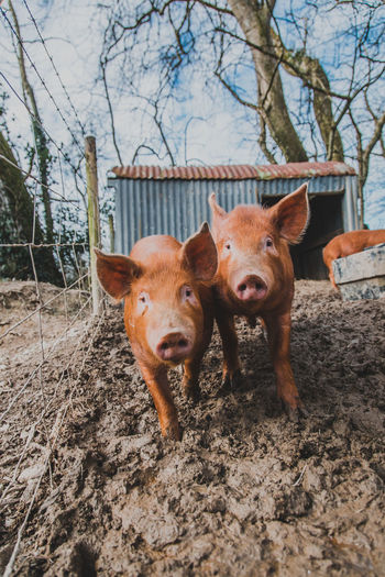 Mammal Animal Animal Themes Domestic Domestic Animals Tree Pets Vertebrate Portrait Group Of Animals Looking At Camera Land No People Pig Nature Field Two Animals Day Livestock Outdoors Mud Herbivorous