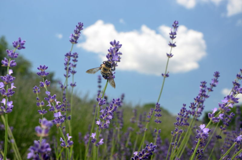 Animal Themes Animal Wildlife Animals In The Wild Beauty In Nature Bee Blooming Buzzing Close-up Day Flower Flower Head Fragility Freshness Growth Insect Lavender Nature No People One Animal Outdoors Plant Pollination Purple Sky Wildflower
