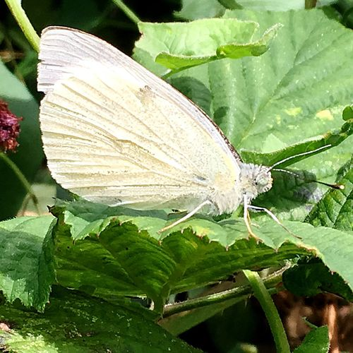 Large White Butterfly CABBAGE WHITE Lepidoptera Insect Entomology Nature Macro Outdoors Day Wildlife Leaf Plant Beauty In Nature Green Natural Pattern Selective Focus Focus On Foreground