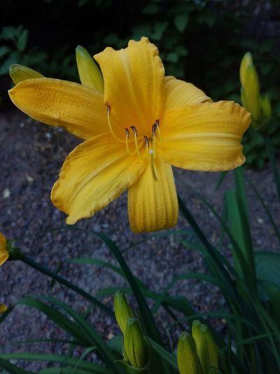 Yellow Flower Fragility Flowering Plant Plant Growth Flower Head Close-up Beauty In Nature Inflorescence Petal No People Lily Flower Lily Fleur De Lys Hemerocállis Garden Photography