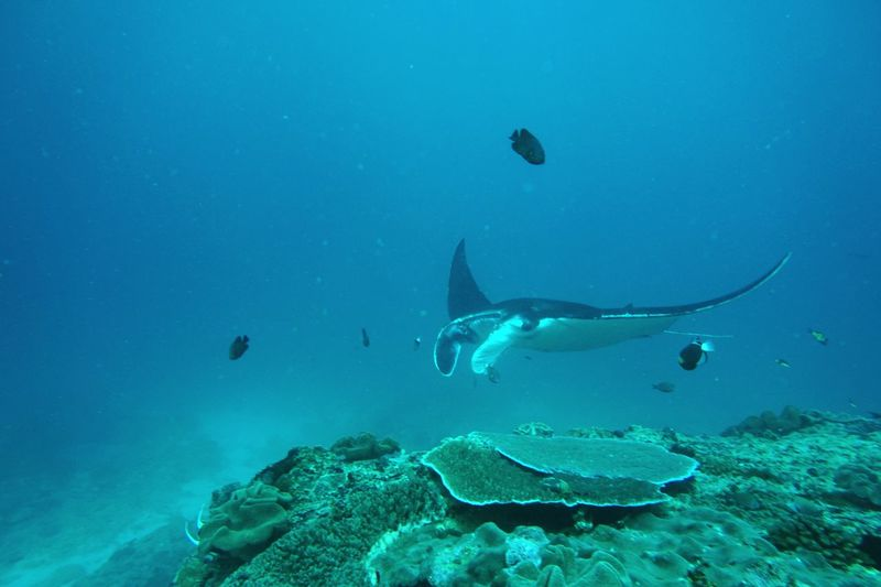 Manta ray swimming in sea