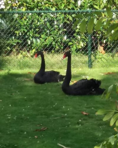 black #Swans