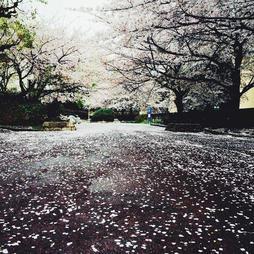 雨で桜が散ったけど、これはこれで良いもんですな(^^) Rain Osaka,Japan IPhone5 Mylife Flower 桜 Japan Landscape