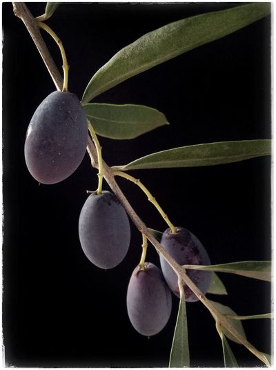 Spanish Empeltre olives destined for extra virgin olive oil, ripening on the tree; Catalonia, Spain. Close-up Food Green Color Growth Health Healthy Leaf Nature Olive Olive Oil Olive Oil Tree Olive Tree Olives Plant SPAIN Spain♥