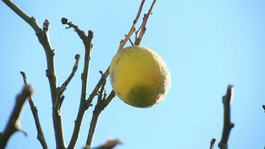 The Lemon on the tree.. Lemontree Lemon Takingphotos Taking Photo Tree Lemon Tree Taking Photos