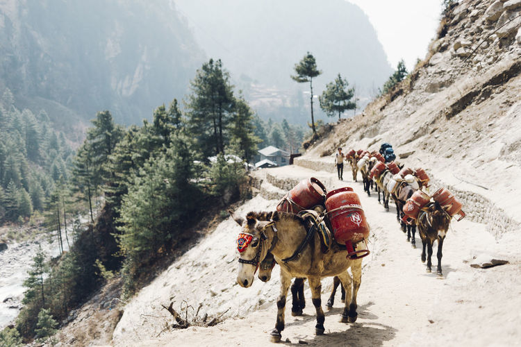EBC Trek 2018 Hiking The Week on EyeEm Activity Adventure Day Domestic Domestic Animals Group Of Animals Group Of People Land Livestock Mammal Mountain Mountain Range Mountains Nature Outdoors People Pets Plant Real People Riding Transportation Tree Working Animal