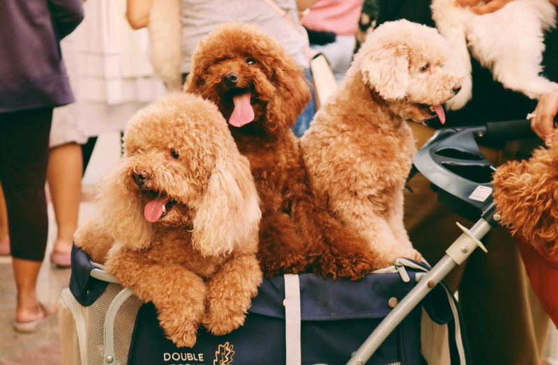 poodle Pet Animal Animals Dogs Dog Politics And Government Poodle Animal Tongue Sticking Out Tongue Animal Mouth