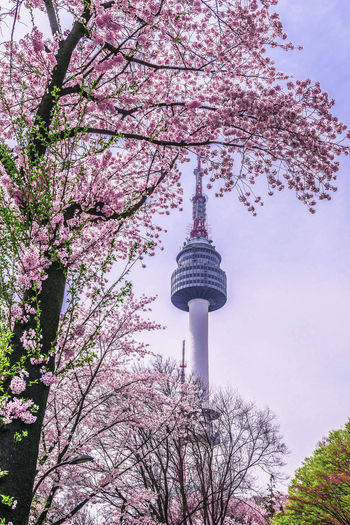 Spring cherry blossoms and Seoul tower at sunset, Seoul in South Korea Tree Architecture Plant Built Structure Cherry Blossom Building Exterior Travel Destinations Blossom Branch Tower Tall - High Low Angle View Nature Spire  Sky Growth Springtime Cherry Tree Pink Color No People Office Building Exterior Outdoors Seoul, Tower, Korea, South, N, Sky, City, Spring, Namsan, View, Blossom, Bloom, Korean, Cherry, Travel, Architecture, Urban, Asia, Mountain, Landmark, Night, Sunset, Full, Skyline, Tree, Business, Background, Landscape, Dark, Scene, Scenery, Financial, Pl