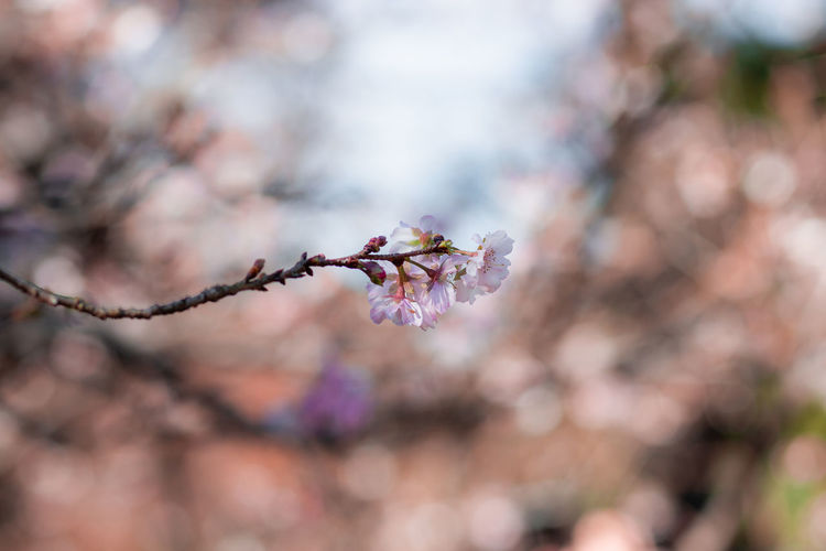 Japan Nature Travel Backgrounds Beauty In Nature Blossom Branch Cherry Blossom Cherry Tree Close-up Flower Flower Head Flowering Plant Focus On Foreground Growth No People Outdoors Pink Color Plant Plum Blossom Selective Focus Travel Destinations Tree