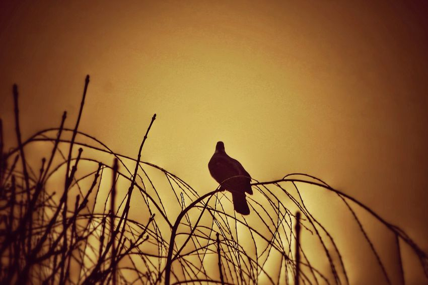 Wood Pigeon Bird Perching Animal Wildlife Animals In The Wild Animal Themes One Animal No People Songbird  Bare Tree Nature Outdoors Sunset Day Sunset_collection Sky Sky_collection Nature On Your Doorstep EyeEm Nature Lover EyeEm Nature Collection Nature Is Art