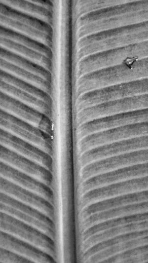 Black And White Photography Black And White Black And White Collection  Plants Of Eyeem Plant Photography Black And White Leaf Waterdrops Waterdrops On Leaf Rain Drops Rain Drops On Leaves Water Drops Textures And Surfaces Textures And Surfaces In Nature Textures In Nature Texture Surface Abstract Nature Abstract Macro Macro Photography Macro Beauty Micro Photography Micro Collection Banana Leaf Baby Banana Tree Abstract Photography