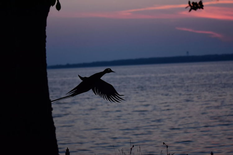 Silhouette bird flying over sea during sunset