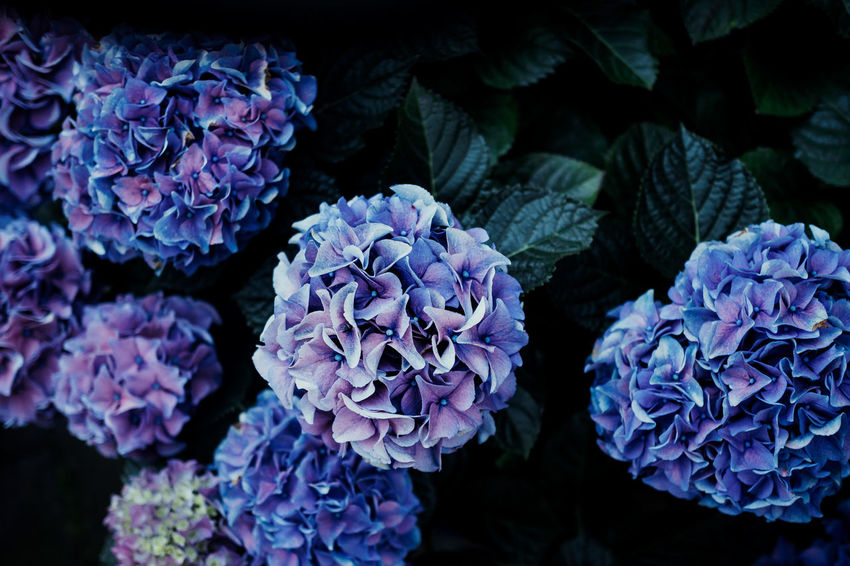 From my Garden Beauty In Nature Botany Bunch Of Flowers Close-up Day Flower Flower Head Flowering Plant Fragility Freshness Growth Hydrangea Inflorescence Lilac Nature No People Outdoors Petal Plant Purple Springtime Vulnerability