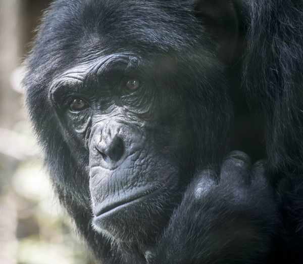 Chimpanzee Zoo Animal Animal Head  Animal Themes Animal Wildlife Ape Black Color Chimp Close-up Day Focus On Foreground Gorilla Looking Looking Away Mammal Monkey No People One Animal Portrait Primate Vertebrate Zoo