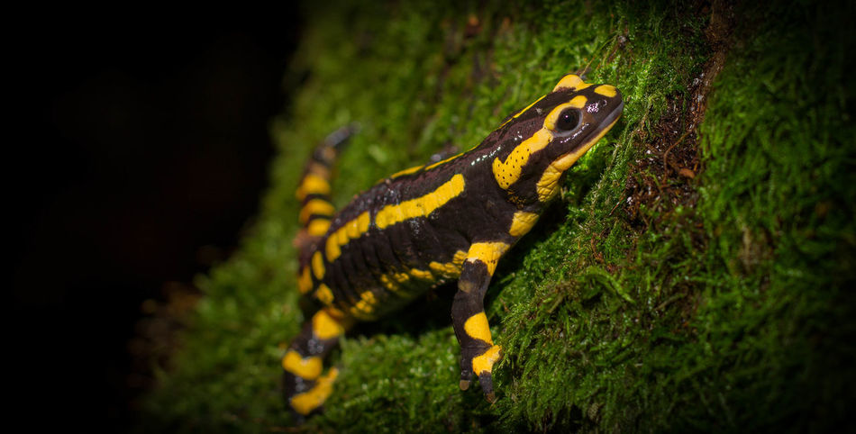 Salamander Amphibian Animal Wildlife Animals In The Wild Close-up Conservation Fire Salamander Forst Nature Newt Night One Animal Outdoors Reptile Slippery Tree Wet Yellow