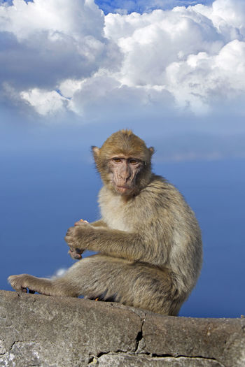 Africa Ape Beauty In Nature Blue Cloud Cloud - Sky Cloudy Day Gibraltar Mammal Monkey Nature No People Outdoors Portrait Primate Rock Of Gibraltar Safari Animals Sky