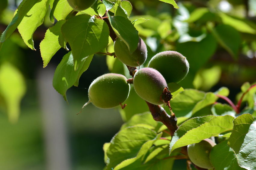 Agriculture Apricot Apricot Tree Branch Close-up Day Food Food And Drink Freshness Fruit Green Color Growth Healthy Eating Leaf Nature No People Outdoors Tree