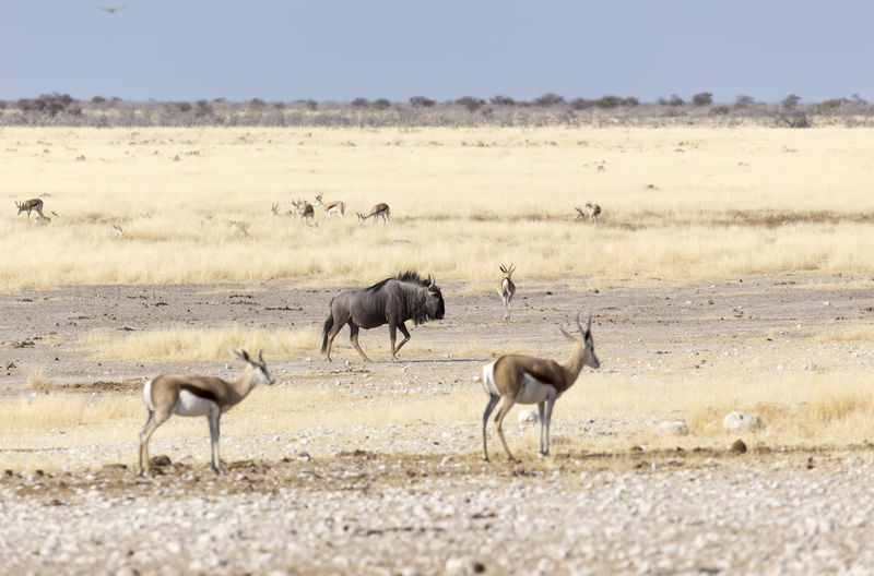 Herd of impalas and wildebeest on field