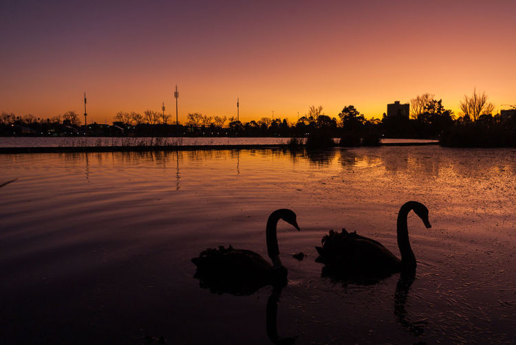 Silhouette swans in lake against sky during sunset