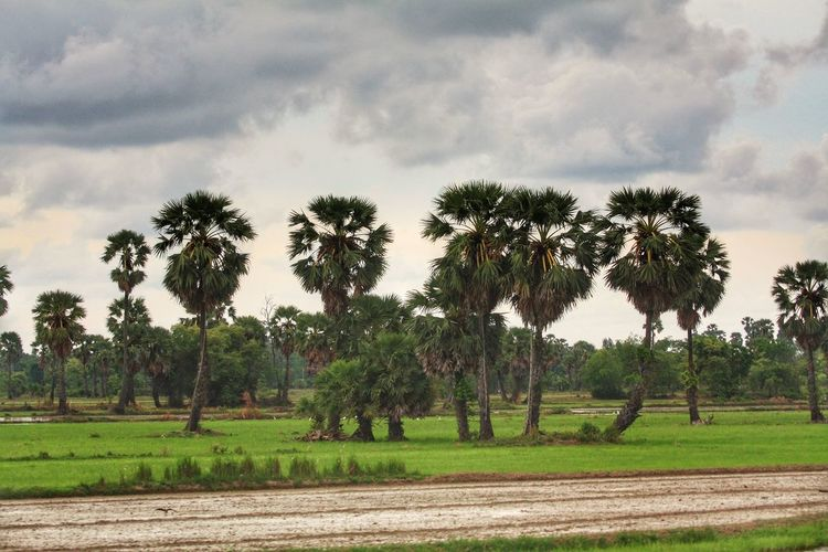 Tree Rice Paddy Palm Tree Rural Scene Agriculture Field Storm Cloud Sky Landscape Cloud - Sky Plowed Field Farm Farmland Agricultural Field Cultivated Land Irrigation Equipment Tractor Rice - Cereal Plant Plantation Ear Of Wheat Cultivated Oil Pump Oilseed Rape Bale  Oil Well Crop