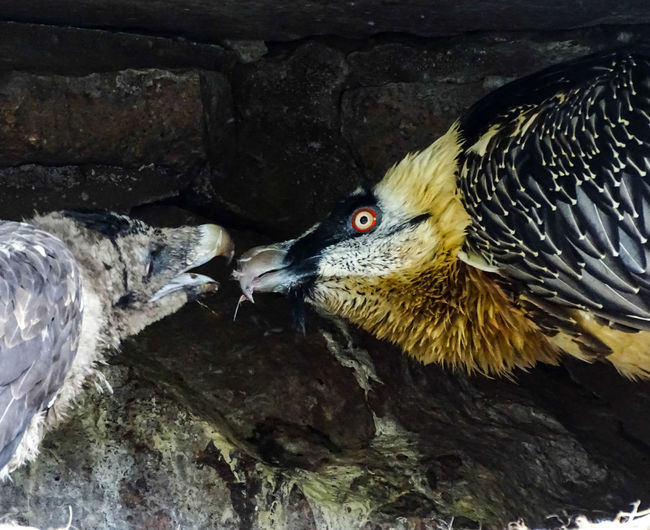Animal Themes Awaking The Chil Bearded Vulture Bird Bird Family Division Of Labou Feeding  Nature Tierpark Berlin Young Bearded Vultur