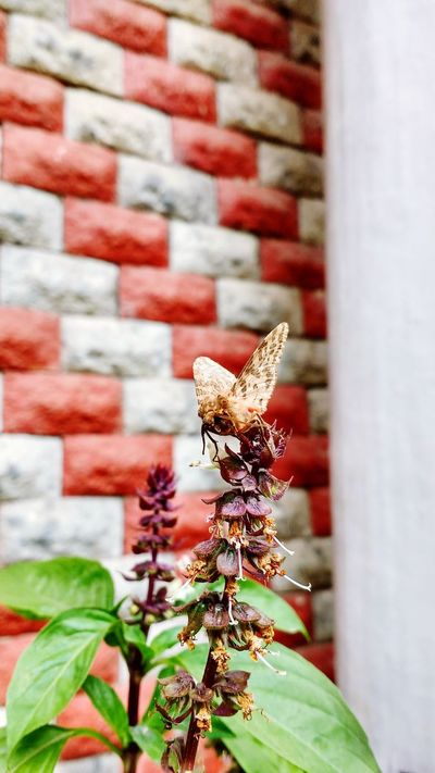 Beautiful moth!! Brick Wall Flower Nature One Animal Day Outdoors Close-up No People Plant Animal Themes Beauty In Nature Butterfly - Insect Animals In The Wild Insect Flower Head Long Goodbye EyeEmNewHere Live For The Story