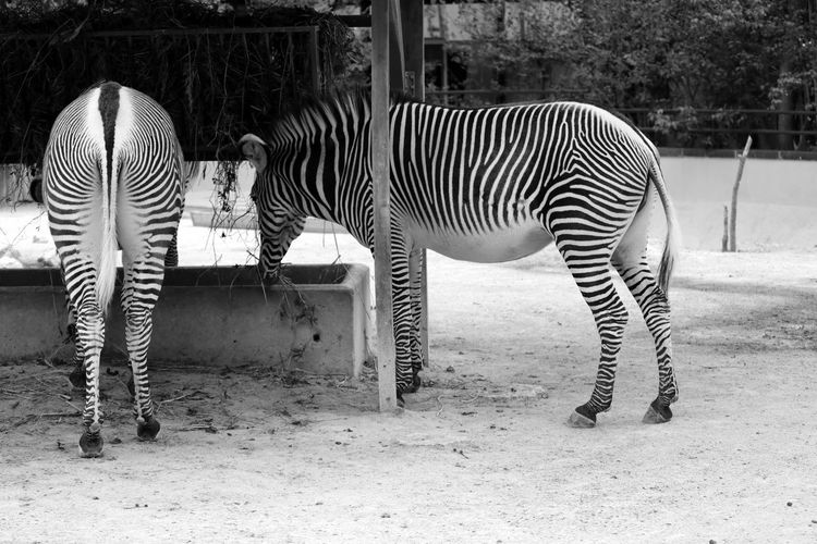 Zebras Drinking Water From Trough At Zoo