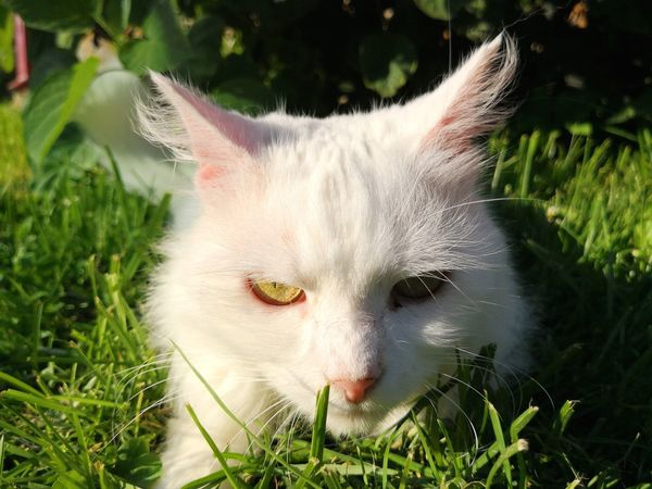 White beautiful cat on green grass White Cat Cat Outdoors Cat Outside EyeEm Selects Pets Portrait Feline Domestic Cat Looking At Camera Closing Beauty Cute Close-up Grass Ear Tabby Cat HEAD Teeth Animal Hair Snout Animal Ear Kitten Whisker Paw Nose Mouth Animal Eye Protruding Yellow Eyes