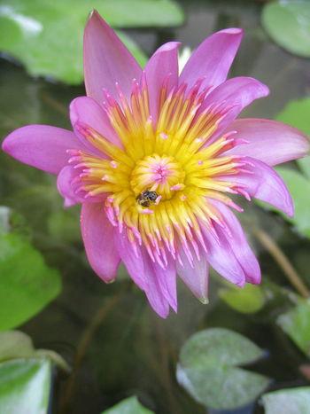 lotus Animal Themes Beauty In Nature Blooming Close-up Day Flower Flower Head Focus On Foreground Fragility Freshness Growth Insect Lotus Flower Lotus Water Lily Nature No People One Animal Outdoors Petal Pink Color Plant Pollen Pollination บัว