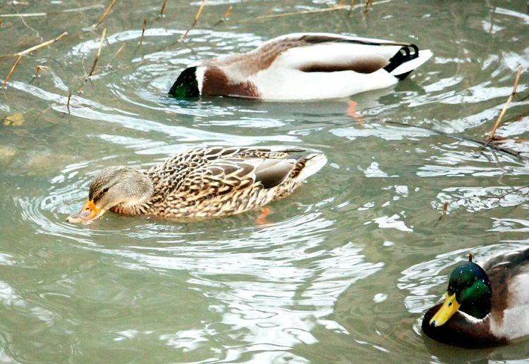 Duck Ducks DUCKS :) Ducks😄 Ducks Unlimited  Go Ducks! My Winter Favorites