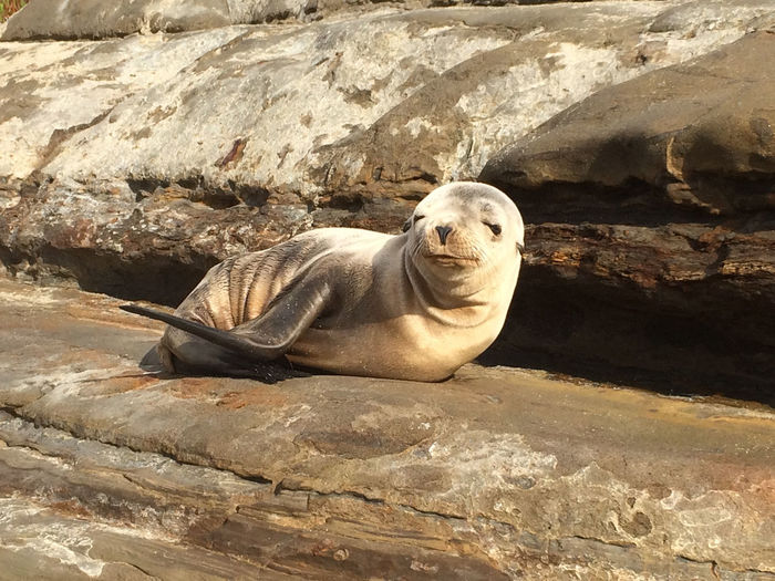 Seal pup lying on sunny rock
