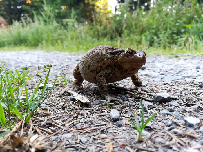Bufo Bufo Amphibian Animal Wildlife Animals In The Wild Close-up Day Erdkröte Full Length Grass Land Nature No People One Animal Outdoors Plant Vertebrate