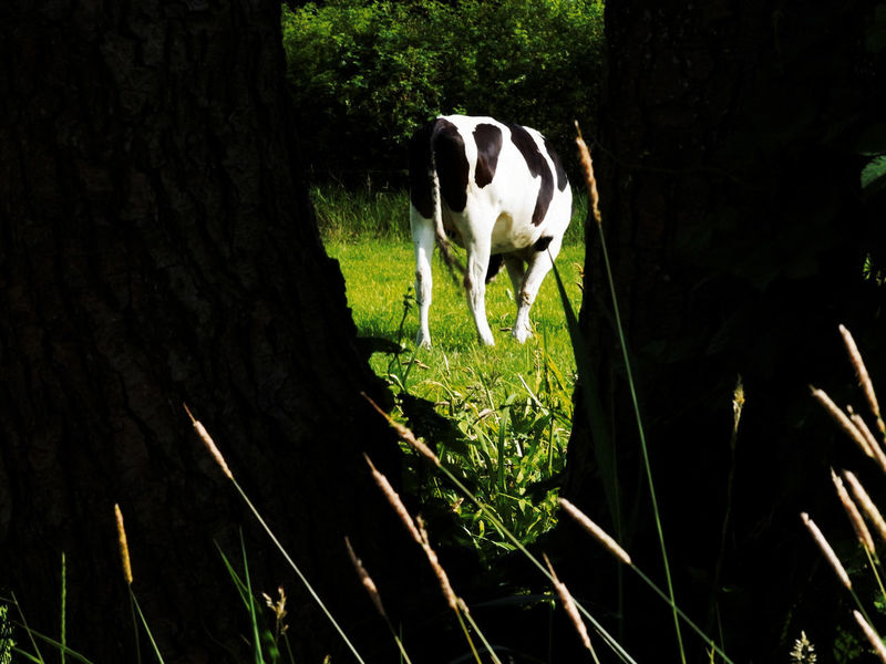 Animal Themes Cow Day Field Grass Green And Black One Animal Outdoors Tree Cows!!! Cows In A Field The Netherlands
