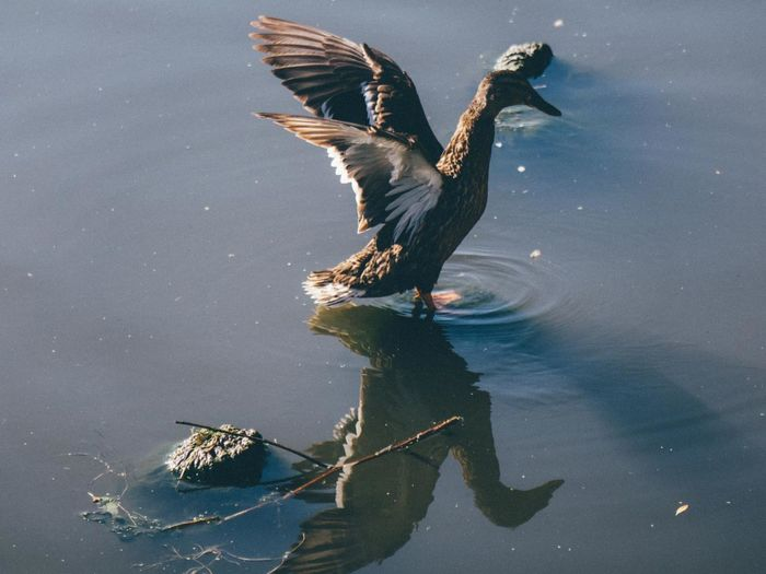 duck Ducks Ducks In Water Duck Ducks😄 Duck Photography Duck Duck Flapping Wings Duck Flying