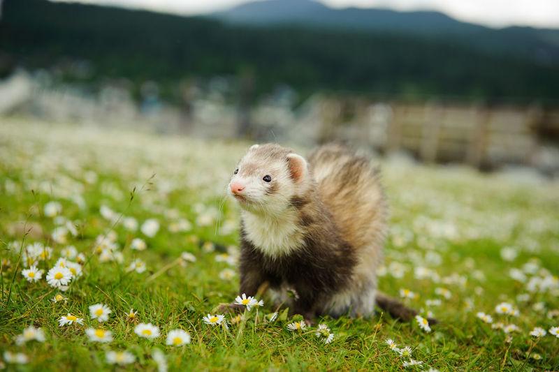 Close-up of ferret on grassy field