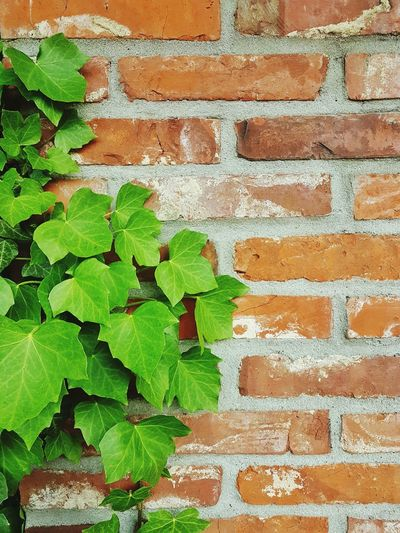 Efeu An Mauer Efeu Garden Nature Textures efeu wand Samsung Galaxy S7
