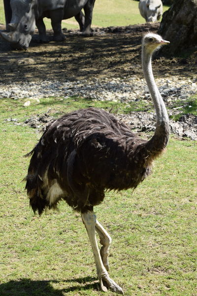 ostrich Animal Themes Animals In The Wild Bird Close-up Day Grass Mammal Nature No People One Animal Ostrich Outdoors