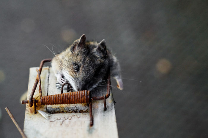 Mouse Mousetrap Trapped Trap Dead Dead Animal Dead Mouse Household Equipment Pest Rat Rats Wrecker Wrecked Wreck Protection Matchstick Safety Burnt Pitfall Rodent Rodents Mammal Animal Themes Animals In The Wild One Animal Animal Animal Wildlife No People Focus On Foreground Squirrel Close-up Wood - Material Domestic Whisker Day Vertebrate Pets Eating Chipmunk Outdoors