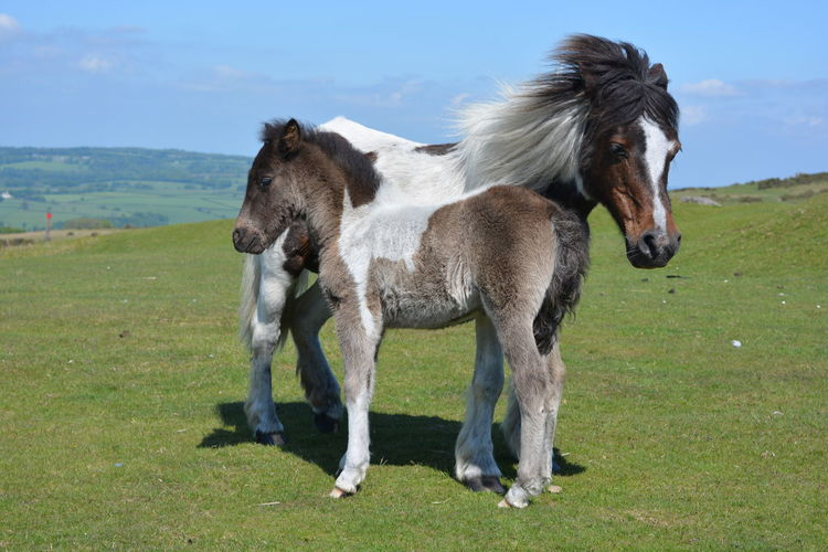 Dartmoor ponies, mare and foal, together in early summer. Animal Family Animal Themes Beauty In Nature Dartmoor Dartmoor Ponies Day Domestic Animals Field Full Length Grass Herbivorous Horse Livestock Mammal Mare And Foal Nature No People Outdoors Scenics Sky Togetherness Young Animal