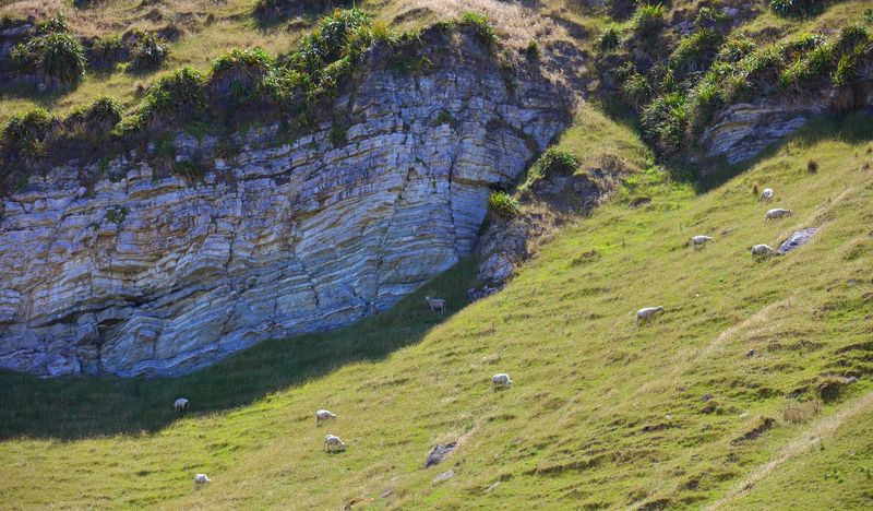 A small flock of sheep grazing on grass, in a coastal hill country scene. The exposed sediment rock showing the layered build up, formed over thousands of years which was once the ocean floor. Natural tectonic plate movement has thrust this sediment rock up to form the natural landscape seen here. Many coastal sheep farms have no fence lines as boundaries, as the sea shore or steep hill terrain acts as a natural boundary to keep stock from wandering too far. Beauty In Nature Coastal Life Exposed Rock Eye4photography  EyeEm EyeEm Gallery EyeEm Nature Lover EyeEmNewHere Flax Plants Grass Grazing Sheep Landscape Photography Malephotographerofthemonth Nature On Your Doorstep Nature Photography Naturelovers New Zealand Impressions New Zealand Landscape New Zealand Natural New Zealand Scenery Sedimentary Rock Steep Hill Tadaa Community The Great Outdoors - 2017 EyeEm Awards