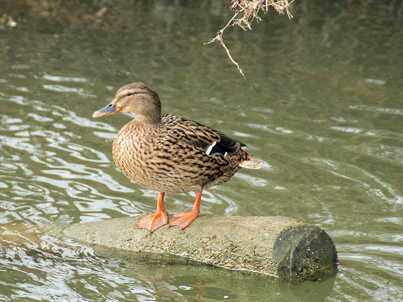 Mallard Duck Perching On Wood At Lake