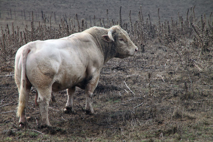 Zuchtbulle STIER Zuchtbulle Animal Bulle Day Domestic Animals Field Nature No People