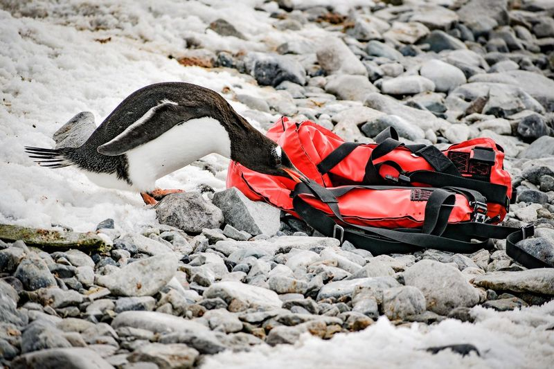 Safety first Rescue Animal Safety Safety Equipment Safety First! Safety First Safety Life Jacket Lifejacket FUNNY ANIMALS Gentoo Penguin Gentoo  Penguins Penguins In The Wild Penguin Antarctica Wildlife Wildlife Photography Wildlife & Nature Wildlife Of Antarctica Rocks Nature Rock Day Land Beach Rock - Object Outdoors Winter Red