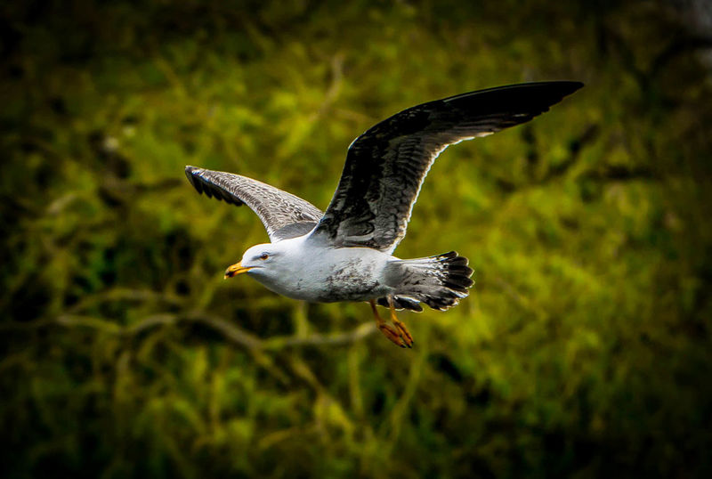 Beauty In Nature Bird Fly Bird Flying Bird Photography Close-up Eyem Best Shots Eyemphotography Flying Micro Four Thirds Motion Nature Seagull SEAGULL IN FLIGHT Spread Wings The Great Outdoors - 2016 EyeEm Awards