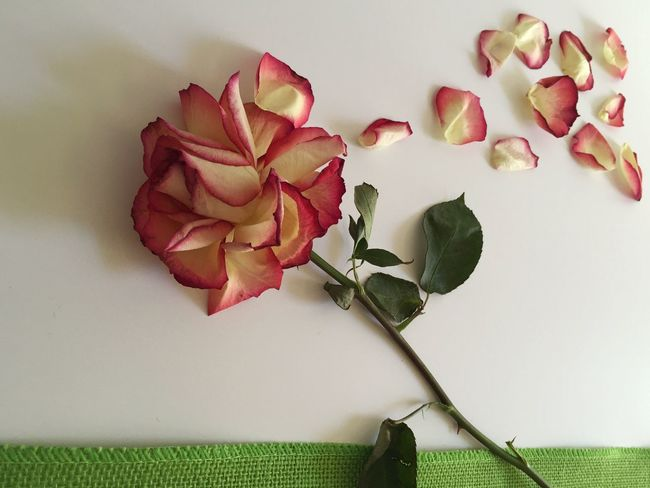 Blowing in the wind? Rose🌹 Rose Still Life Rose - Flower Rose Petals Rose Petal Rose Photography Rosepetals Roseporn Pastel Power