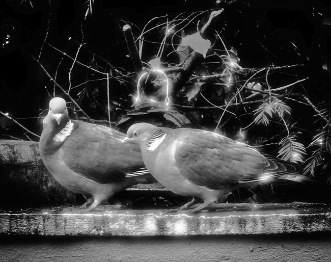 Animal Themes Animals In Captivity Animals In The Wild Beauty In Nature Bird Birds Duiven Macro Macro Nature Medium Group Of Animals Nature Palomas Pigeons Tauben Two Animals Wildlife