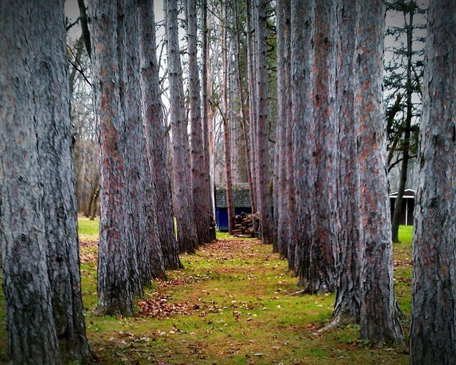 Precision For The Love Of Trees ~ Tree Symmetry Trees_collection