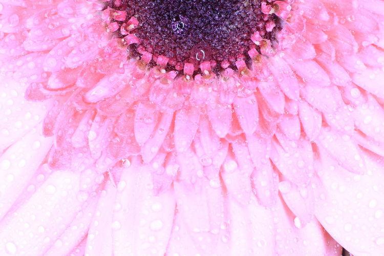 Full frame shot of pink rose flower